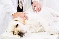 dolor en mascotas